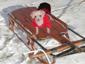 Mamie aboard the same sled in 2015.