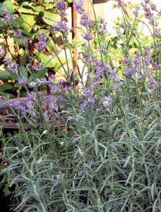 A lavender crop (Photo by Josephine Borut)