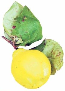 "The quince has been called ""golden apple."""