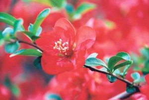 Texas Scarlett, from the Chaenomeles japonica quince shrub